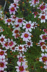 Sweet Dreams Tickseed (Coreopsis rosea 'Sweet Dreams') at The Mustard Seed