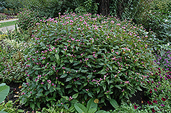Pink Turtlehead (Chelone obliqua) at The Mustard Seed