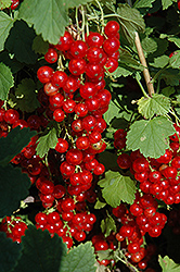 Red Lake Red Currant (Ribes rubrum 'Red Lake') at The Mustard Seed