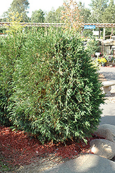 Techny Globe Arborvitae (Thuja occidentalis 'Techny Globe') at The Mustard Seed