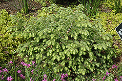 Moon Frost Hemlock (Tsuga canadensis 'Moon Frost') at The Mustard Seed