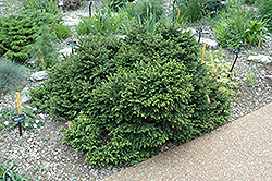 Pumila Dwarf Norway Spruce (Picea abies 'Pumila') at The Mustard Seed