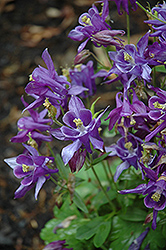 Biedermeier Blue Columbine (Aquilegia 'Biedermeier Blue') at The Mustard Seed
