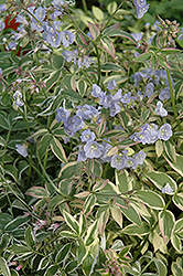 Touch Of Class Jacob's Ladder (Polemonium reptans 'Touch Of Class') at The Mustard Seed