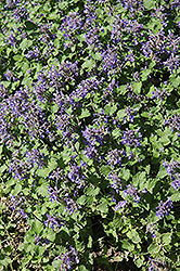 Little Titch Catmint (Nepeta racemosa 'Little Titch') at The Mustard Seed