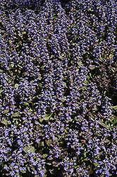 Metallica Crispa Bugleweed (Ajuga pyramidalis 'Metallica Crispa') at The Mustard Seed