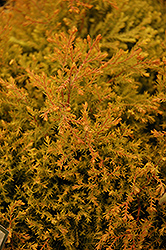 Fire Chief™ Arborvitae (Thuja occidentalis 'Congabe') at The Mustard Seed