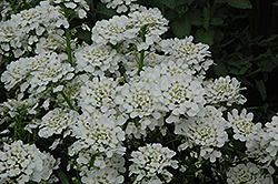 Purity Candytuft (Iberis sempervirens 'Purity') at The Mustard Seed