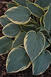 First Frost Hosta (Hosta 'First Frost') at The Mustard Seed