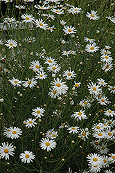 Marguerite Daisy (Argyranthemum gracile) at The Mustard Seed