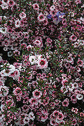 Martini Tea-Tree (Leptospermum scoparium 'Martini') at Lakeshore Garden Centres