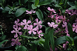 Max Frei Soapwort (Saponaria lempergii 'Max Frei') at The Mustard Seed