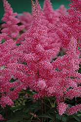 Rhythm and Blues Astilbe (Astilbe 'Rhythm and Blues') at The Mustard Seed