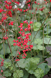 Firefly Coral Bells (Heuchera 'Firefly') at The Mustard Seed