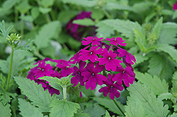 Superbena® Purple Verbena (Verbena 'Superbena Purple') at The Mustard Seed
