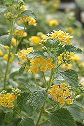 Sunburst Lantana (Lantana 'Sunburst') at The Mustard Seed