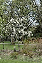 Toka Plum (Prunus 'Toka') at The Mustard Seed