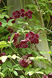 Chocolate Vine (Akebia quinata) at The Mustard Seed