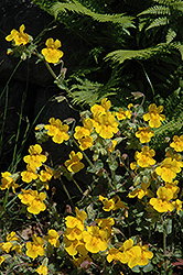 Yellow Monkey Flower (Mimulus guttatus) at The Mustard Seed