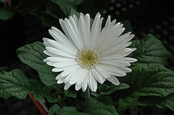 White Gerbera Daisy (Gerbera 'White') at The Mustard Seed