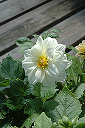 Figaro™ White Dahlia (Dahlia 'Figaro White') at The Mustard Seed