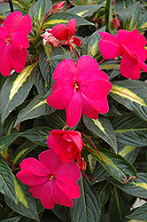Sonic® Hot Rose on Gold New Guinea Impatiens (Impatiens 'Sonic Hot Rose on Gold') at The Mustard Seed