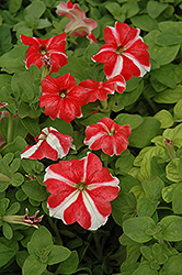 Ultra Red Star Petunia (Petunia 'Ultra Red Star') at The Mustard Seed