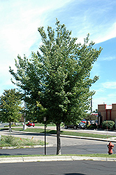 Common Hackberry (Celtis occidentalis) at The Mustard Seed