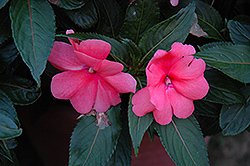 Sonic® Salmon New Guinea Impatiens (Impatiens 'Sonic Salmon') at The Mustard Seed