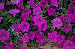Wave Lavender Petunia (Petunia 'Wave Lavender') at The Mustard Seed