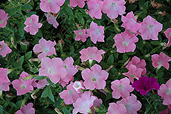 Easy Wave® Shell Pink Petunia (Petunia 'Easy Wave Shell Pink') at The Mustard Seed