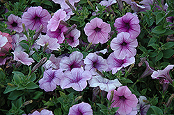 Easy Wave® Plum Vein Petunia (Petunia 'Easy Wave Plum Vein') at The Mustard Seed
