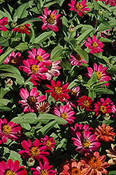 Profusion Cherry Zinnia (Zinnia 'Profusion Cherry') at The Mustard Seed