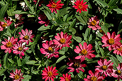 Profusion Coral Pink Zinnia (Zinnia 'Profusion Coral Pink') at The Mustard Seed