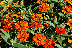 Profusion Orange Zinnia (Zinnia 'Profusion Orange') at The Mustard Seed