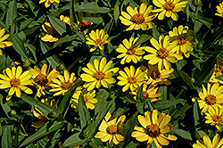 Profusion Yellow Zinnia (Zinnia 'Profusion Yellow') at The Mustard Seed