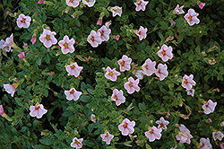 Superbells® Cherry Blossom Calibrachoa (Calibrachoa 'Superbells Cherry Blossom') at The Mustard Seed