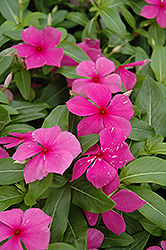 Mediterranean Lilac Vinca (Catharanthus roseus 'Mediterranean Lilac') at The Mustard Seed