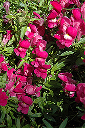 Trailing Snapshot Purple Snapdragon (Antirrhinum majus 'Trailing Snapshot Purple') at The Mustard Seed