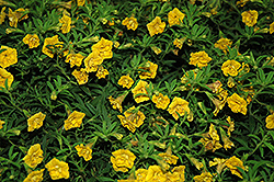 MiniFamous® Double Yellow Calibrachoa (Calibrachoa 'MiniFamous Double Yellow') at The Mustard Seed