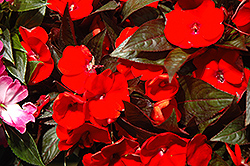 Harmony Flame New Guinea Impatiens (Impatiens hawkeri 'Harmony Flame') at The Mustard Seed