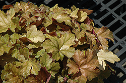 Midas Touch Coral Bells (Heuchera 'Midas Touch') at The Mustard Seed