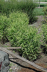 Northern Sea Oats (Chasmanthium latifolium) at The Mustard Seed