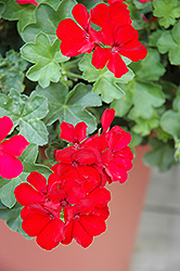 Caliente Deep Red Geranium (Pelargonium 'Caliente Deep Red') at The Mustard Seed