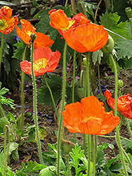 Iceland Poppy (Papaver nudicaule) at The Mustard Seed