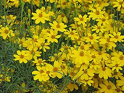 Zagreb Tickseed (Coreopsis verticillata 'Zagreb') at The Mustard Seed