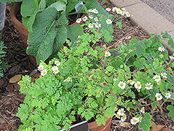 Feverfew (Tanacetum parthenium) at The Mustard Seed