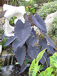 Black Magic Elephant Ear (Colocasia esculenta 'Black Magic') at The Mustard Seed