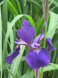 Caesar's Brother Siberian Iris (Iris sibirica 'Caesar's Brother') at The Mustard Seed