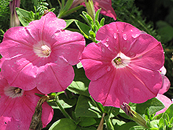 Madness Pink Petunia (Petunia 'Madness Pink') at The Mustard Seed